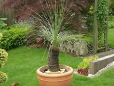 Árbol del norte de hierba semillas-Árbol inusual, Look exótica