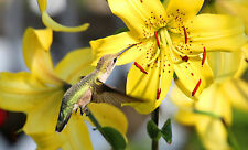 BEAUTIFUL HUMMINGBIRD FEEDING ON A YELLOW LILY FINE ART GREETING CARD