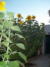 50 Seeds Giant Russian Mammoth Sunflower Heirloom Orga Helianthus annuus Girasol