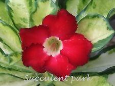 """Variegated Rosy Adenium Obesum (Desert Rose) """"Superba"""" grafted plant"""