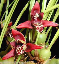 """Maxillaria Tenuifolia, Coconut Orchid, Fragrant Oncidium in 4"""" pot with medium"""