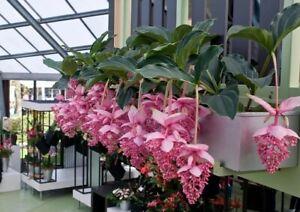 Beautiful Medinilla Magnifica flowers bonsai rare plants home garden 100 seeds