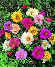 50+ DOUBLE MOSS ROSE  MIX / PORTULACA / ANNUAL FLOWER SEEDS / GROUND COVER