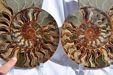 "1464x Cut Split PAIR Ammonite Deep Crystal Cavity 110myo Fossil 240mm XXXLG 9.5"""