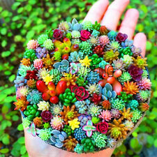Bonsai Amazing Sempervivum Seeds Plants Mini Succulents Mixed Garden 100pcs
