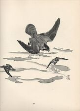 1937 BIRD PRINT ~ PEREGRINE & DUNLIN