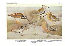 """1936 Vintage FUERTES BIRDS #33 """"SANDPIPER SANDERLING"""" Color Art Plate Lithograph"""