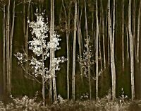 Aspens Northern New Mexico by Ansel Adams Landscape Open Edition 9x12 Paper