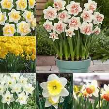 GUT 20 Double Narcissus Duo Bulbs Scented Pastel Mixed Daffodil Spring Flower