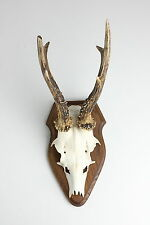 16 6 fin bois de cerf chasse chasseur Corne Bois Crâne Wild Dentier Rehbock