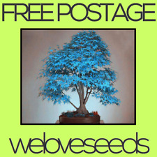 LOCAL AUSSIE STOCK - Rare Blue Maple, Bonsai Tree Seeds ~10x FREE SHIPPING