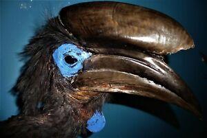 African Black Casqued Hornbill wall mount Taxidermy