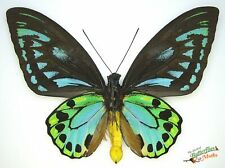 Neues AngebotOrnithoptera Priamus Urvillianus Blau Set Verso x1 A1- Probe Solomon Island