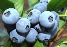 Heidelbeeren 2 Sorten set, Blaubeere, Kulturheidelbeere Nördliche Sorten
