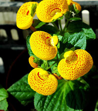 Calceolaria Seed 30 Seeds Common Calceolaria Herbeohybrida Flower Seeds Hot A150