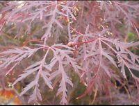 Acer Palmatum Dissectum Atropurpureum/Japanase Maple.