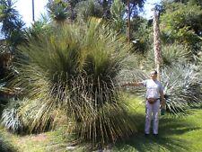 DASYLIRION LONGISSIMUM 1 pianta vq 7x7x10 cm Dasylirion  Mexican Grass Tree