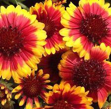30 + Arizona Sol Bicolor Gaillardia Semillas de Flor / Rara Vez Ofrecido