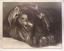 16X20 Original B&W Print Photograph Matted Hippo Animal Interior Signed 1977