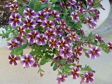 STAR PETUNIA MIX Annual Flower Bedding Hanging Basket Pots Planters 50 Seeds