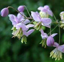 Thalictrum - Dipterocarpum - 50 Seeds