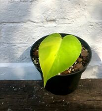More details for aurea variegated monstera deliciosa - free phyto & shipping