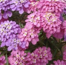 50+ IBERIS CANDYTUFT LILAC AND PINK FLOWER SEEDS MIX / DEER RESISTANT
