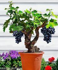 Bonsai / Dwarf Black Grapes Live Plant Miniature Grape Live Plant - 1 live plant