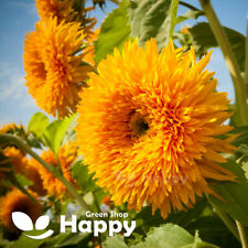 GIANT SUNFLOWER - SUNGOLD - 25 seeds - Helianthus annuus - ANNUAL FLOWER