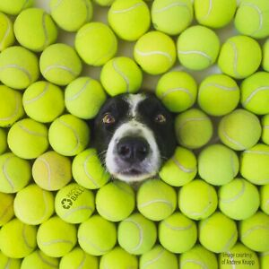 200 used tennis balls  LOW COST DOGGIE BALLS with bounce  FREE SHIP - SAVE 10%