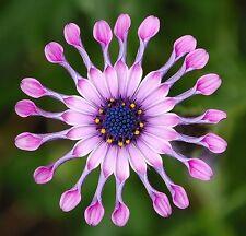 African Daisy Mix - Osteospermum Ecklonis - 35 seeds - ANNUAL FLOWER