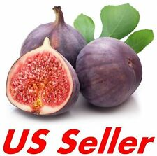 30 PCS Rare Ficus Carica Bursa E30 Large Rare Fig Trees Seeds, US Seller