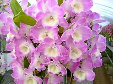 "Nobile Dendrobium Violet Fizz 'Luna' in 2""Pot ~Blooms Next year~"