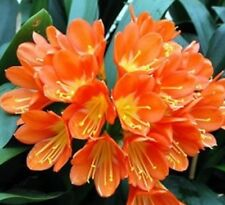 ORANGE CLIVIA miniata shady garden flowers plant in 100mm pot