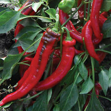 Delicious Nardello pepper. 60+ fresh organic seeds for 2018