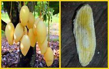 *UNCLE CHAN* 2 seed Sweet Gold Mango Rare Tropical Juicy Fresh Fruit NAM-DOG-MAI