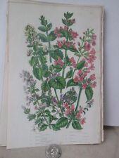 Vintage Print,CAT MINT,Plants,Great Britian,Pratt