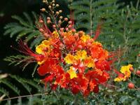 Pride of Barbados exotic tropical flowering tree/shrub patio plant indoor/out