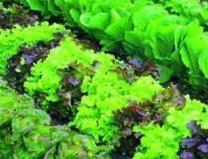 Vegetable - Lettuce - Mixed Baby Leaf - 1000 Seeds - Economy - Microgreen Salad