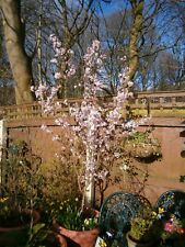 Prunus subhirtella - A Home Pot Grown 8 foot + Ornamental Rose Bud Cherry Tree