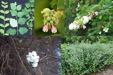 Snowberry Shrub, Symphoricarpos albus, Seeds (Fast, Hardy, Ornamental Fruit)