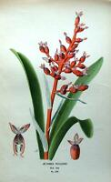 CORALBERRY, AECHMEA FULGENS, BRAZIL, Edward Step Antique Botanical Print 1897