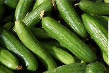 Muncher Cucumber Seeds FREE SHIPPING