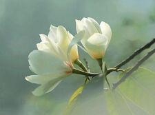 5 Michelia macclurei seeds * Very Fragrant * Shrub Evergreen CombSH M41