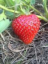 50  X Albion Ever Bearing Strawberry Plant Seeds Up To 3 Harvests A Year