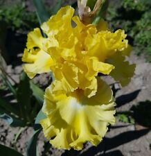 "TALL BEARDED IRIS GERMANICA ""JUNE SWELTER"" (ZAKIS) Delivery August/September"