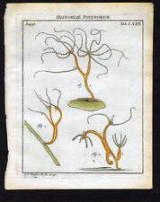 Freshwater polyps II  - Roesel Insecten-Belustigung 1755 Natural History Print