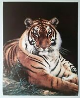 Tiger Poster Fluffy Laying Lithograph Print Vintage Wall Art New Black Backgrond