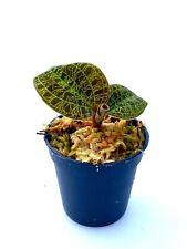 Macodes petola GOLD Jewel Orchid, juweel Orchid, Orchidee, Orquídea, Orchidée
