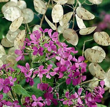 Money Plant Seeds, Violet, Silver Dollar Plant, Lunaria, Honesty, Heirloom 50ct